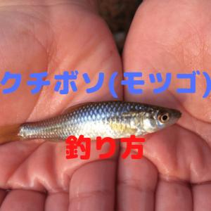 クチボソ(モツゴ)の釣り方【仕掛け・飼育方法・食べ方も紹介!】