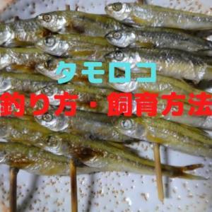 タモロコの釣り方【仕掛け・飼育方法・食べ方も紹介!】