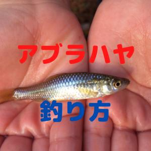 アブラハヤの釣り方【仕掛け・飼育方法・食べ方も紹介!】