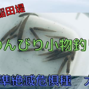 【多摩川稲田堤で釣り】準絶滅危惧種のスゴモロコが大繁殖していた!