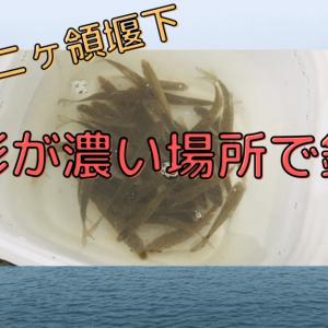 【ニヶ領上河原堰下】多摩川で小物釣り!【魚影が濃い場所で釣り】