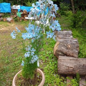 赤い花と青い花咲いてますーー&ママ友のライブ