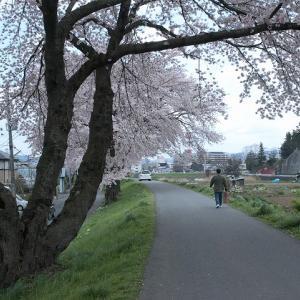 磐井川堤防の桜2010【#002】