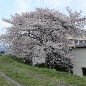 磐井川堤防の桜2010 【#021】