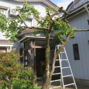 モミジの木を剪定しました