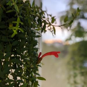 モナリザがまた咲きました。