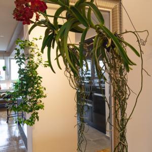 玄関とリビングに新しい植物『Vanda バンダ』