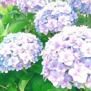 庭の紫陽花。