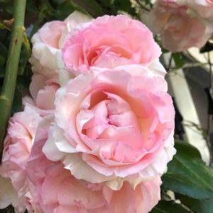 散歩道「ロイヤル スカーレット」バラ【写真・花】