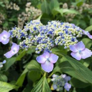散歩道「紫陽花の季節を感じながら」【写真・花・私目線^_^】