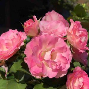 散歩道「ストロベリー アイス」バラ【写真・花】