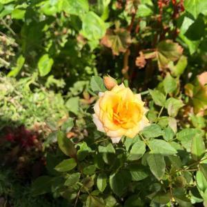 散歩道「ミニバラ」黄色【写真・花】