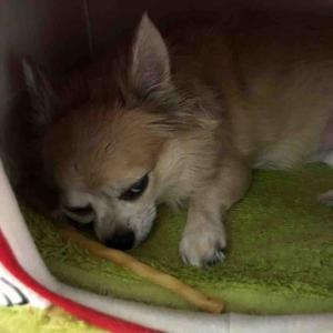 愛犬 大雨 避難勧告アラート「怖がってます💦」やっとハウスに【愛犬】