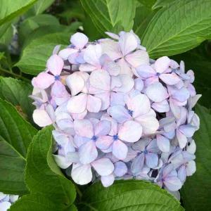散歩道「紫陽花」【写真・花】