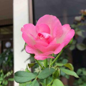 散歩道「ストロベリーアイスバーグ」バラ【写真・花】