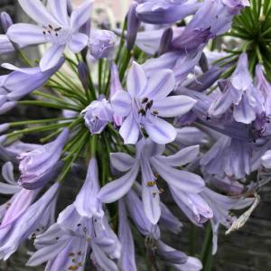 散歩道「アガパンサス」紫【写真・花】