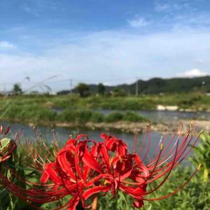 彼岸花 川沿いに咲いてます^_^ 【写真・花】