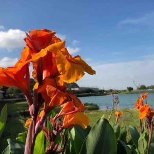 川沿いに咲いてるオレンジ色の花 菖蒲系? 【写真・花】