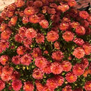 ジジ ガーデンマム ピンク (菊科)【写真・花】