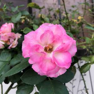 ストロベリーアイスバーグ ピンク バラ【写真・花】