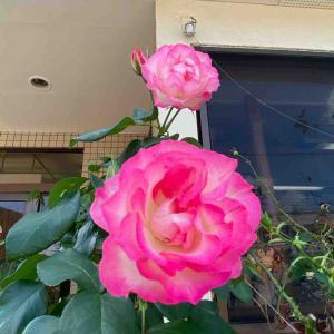 おはようございます🤗 ストロベリーアイスバーグ バラ【写真・花】