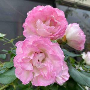 ストロベリーアイスバーグ バラ おはようございます🤗 【写真・花】