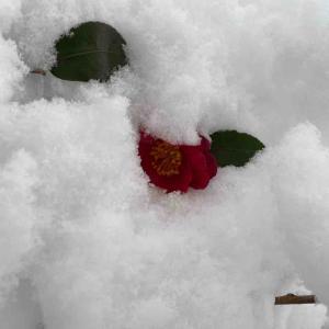 サザンカ(山茶花) 今日は雪に埋れてます❄️ おはようございます🤗 【写真・花】