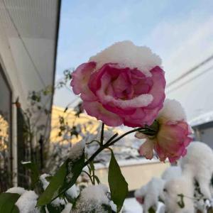 ストロベリーアイスバーグ バラ(薔薇)おはようございます🤗 雪が重そうです❄️【写真・花】