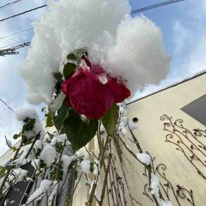 バラ(薔薇)雪が凄い❄️ おはようございます🤗 成人の日【写真・花】