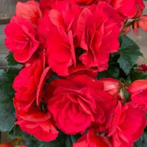 リーガーベゴニア 赤 おはようございます🤗 【写真・花】