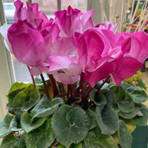 シクラメン ピンクのグラデーション 頂きました♪ おはようございます🤗 【写真・花】