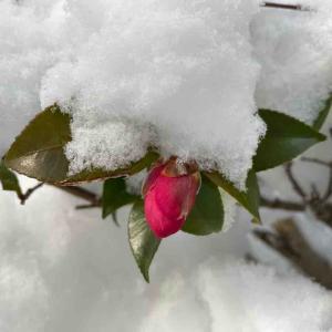 サザンカ(山茶花) 雪の中でも蕾は元気そうです♪【写真・花】