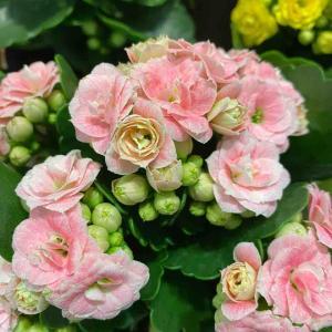 カランコエ ピンク おはようございます🤗 素敵なピンク色【写真・花・花言葉】