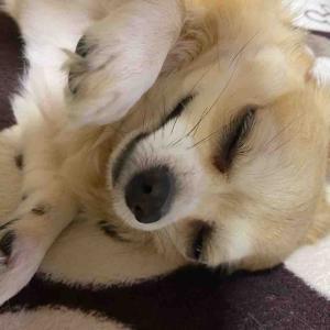 甘えてます💕 寝転んでくるところが可愛い🤗って💕甘えん坊さんです💦【愛犬】