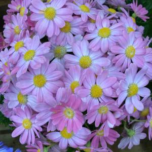 マーガレット系 ピンク色 おはようございます🤗 【写真・花・花言葉】