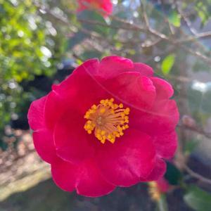 山茶花(サザンカ) おはようございます🤗 庭のサザンカポツポツと咲きています💦