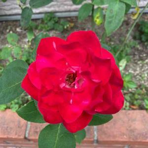 バラ 素敵な赤 おはようございます🤗6月12日【写真・花】