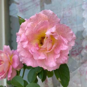 ハイブリット・ハイローズ 薄いピンク色 おはようございます🤗6月25日【写真・花】