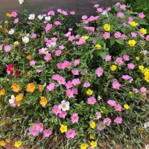 ポーチュラカ 夏の花💕 沢山咲いてて💕 おはようございます🤗 7月30日【写真・花・撮り方】