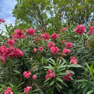 散歩道に咲いてたピンクの花が素敵です💕 おはようございます🤗 8月5日【写真・花】