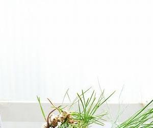 黒松苗木から豆盆栽へ