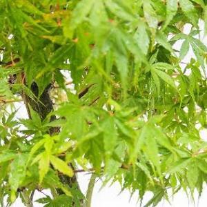 桂モミジの取り木を…外さない