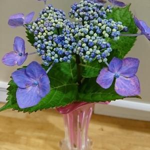 素敵に不思議 急変した額紫陽花とその香り