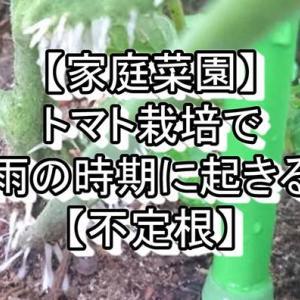 【家庭菜園】トマト栽培で梅雨の時期に起きる事【不定根】