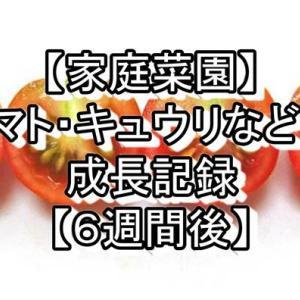 【家庭菜園】トマト・キュウリなどの成長記録【6週間後】