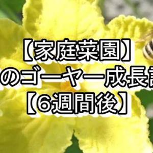 【家庭菜園】3種のゴーヤー成長記録【6週間後】