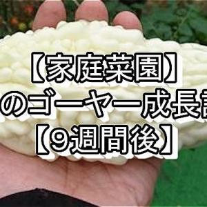 【家庭菜園】3種のゴーヤー成長記録【9週間後】
