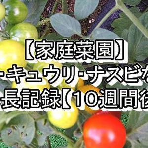 【家庭菜園】トマト・キュウリ・ナスビなどの成長記録【10週間後】