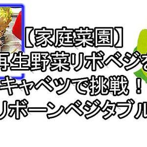 【家庭菜園】再生野菜リボベジをキャベツで挑戦!【リボーンベジタブル】