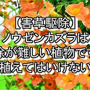 【害草駆除】ノウゼンカズラは駆除が難しい植物です!【植えてはいけない】